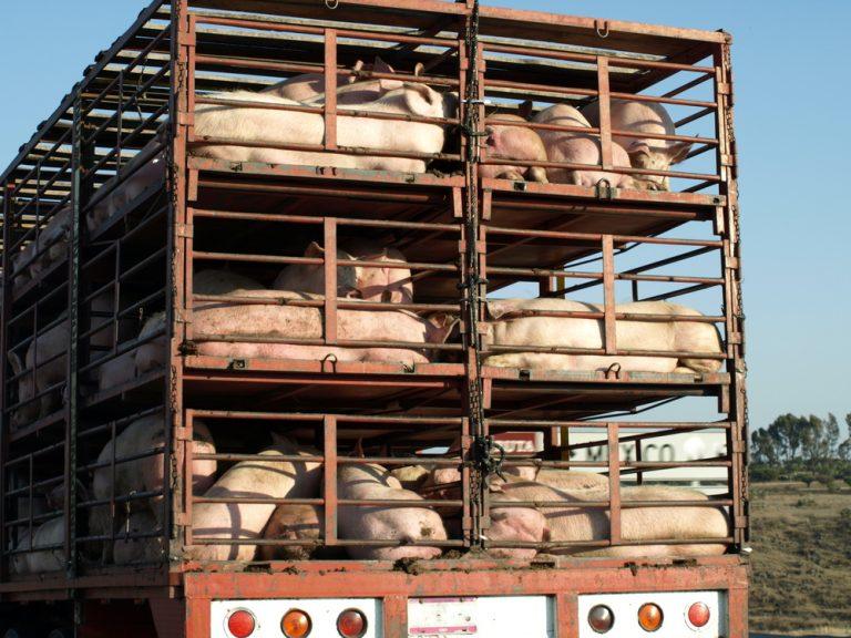 Dịch vụ vận chuyển lợn thịt uy tín giá rẻ chuyên nghiệp của Vietship